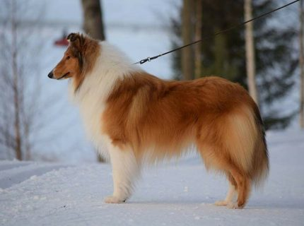 Pitkäkarvainen collie, Corydon Lord Of The Rings